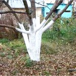 Фото - Стійка побілка дерев - захист від зимових сонячних опіків.