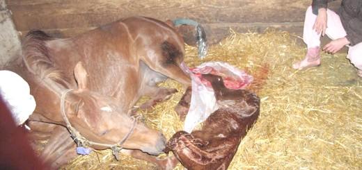 На фото процес народження лошати, photobucket.com