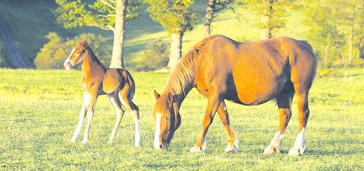Фотографія коні і лоша, goldmustang.ru