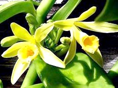 Фото - Ваніль - різновид запашної орхідеї
