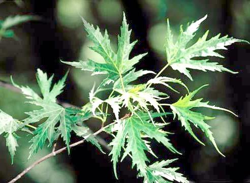 Клен цукристий, листя
