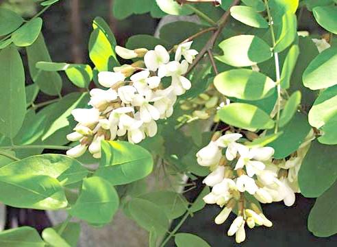 Біла акація, Robinia pseudoacacia