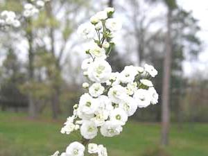 Спірея сліволістная (Spiraea prunifolia 'Plena')