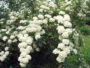 Спірея Вангутта (Spiraea x vanhouttei)