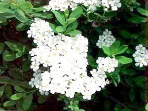 Спірея ніпонська (Spiraea nipponica'Snowmound')