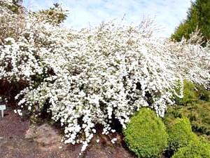 Спірея сліволістная (Spiraea prunifolia)
