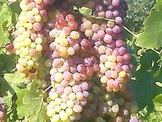 Фото - Виноград для схуднення