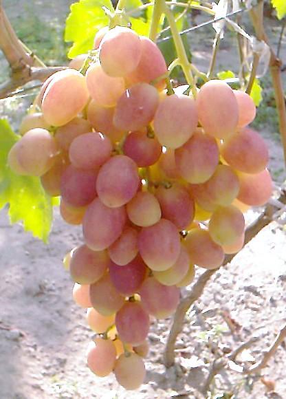 Сорт винограду Ксенія