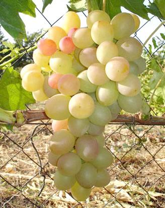 Виноград Лія