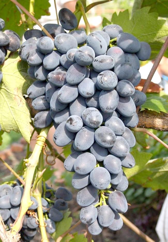 Виноград Надія АЗОС
