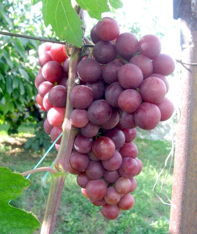 Сорт винограду Ніна