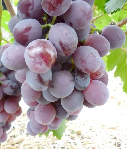 Сорт винограду Нінель