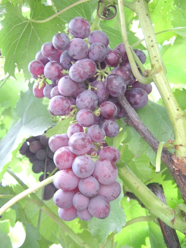 Сорт винограду Нізіна