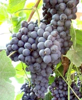 Фото - Виноград - опис, вибір сорту, необхідні умови.