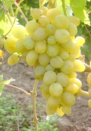 Виноград Первозванний