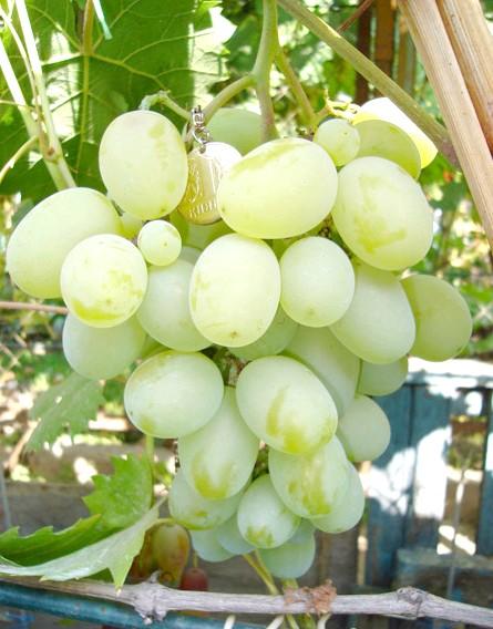 Виноград Подарунок Запоріжжю