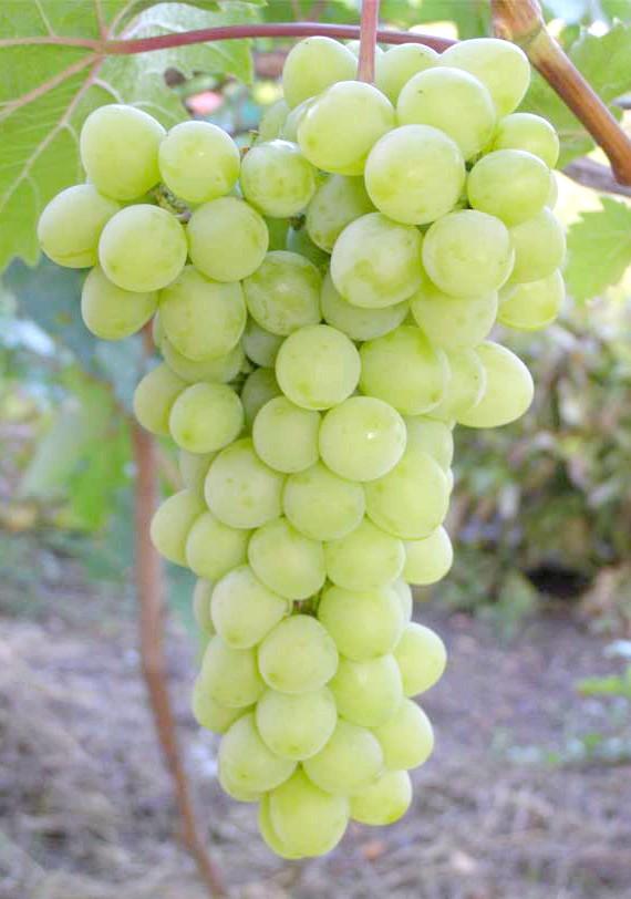 Виноград Прозорий