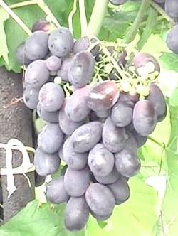 Сорт винограду Рішельє