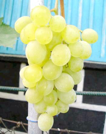 Сорт винограду Русмол
