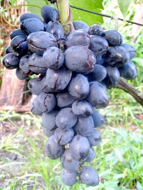 Сорт винограду Сфінкс