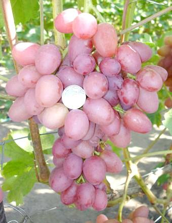 Сорт винограду Софія