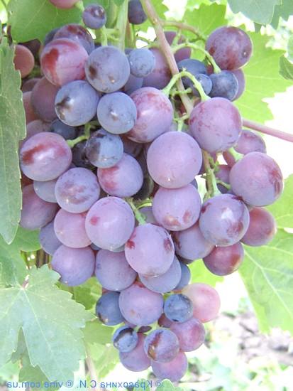 Сорт винограду Надранній червоний мускат