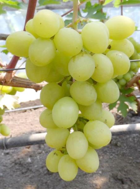Сорт винограду Валєк