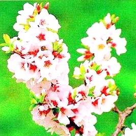 Фото - Повстяна вишня