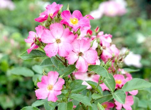Троянда флорибунда, сорт Fortuna