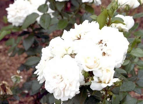 Роза групи флорибунда, сорт Lions-Rose