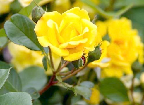Роза групи флорибунда, сорт Yololmarie-82