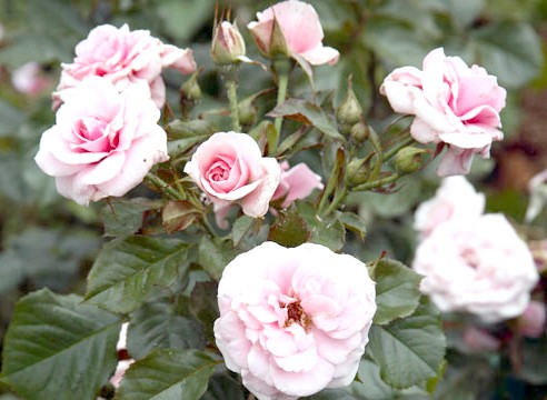 Роза, група шрабов, сорт Westerland