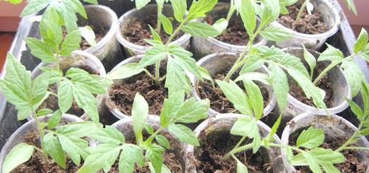 Фото розсади помідорів, felicity10.ru