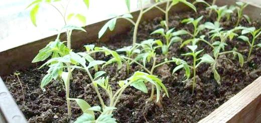 Вирощування томатів на підвіконні, homester.com.ua