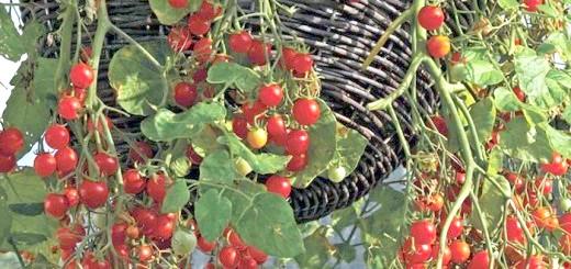 На фото помідор сорту Черрі, cugetliber.ro