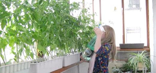 Полив кімнатних томатів, wordpress.com
