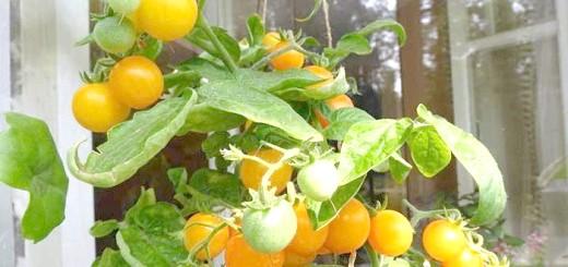 На фото жовті томати на балконі, yandex.ru
