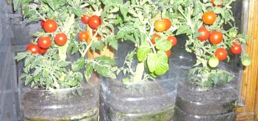 Зображення врожаю помідорів взимку, qip.ru