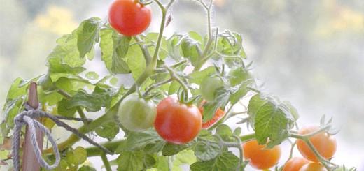 Зображення помідора сорту Японський карлик, semenator.info