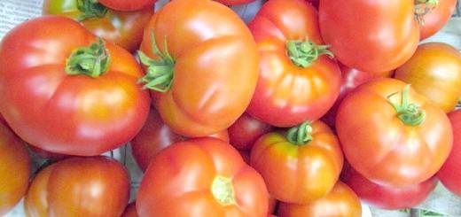 Помідор сорти Пролісок, my-tomatoes.com
