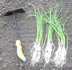 Вирощування ріпчастої цибулі з насіння безрассадним способом