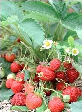 Фото - Вирощування суниці садової (полуниці)