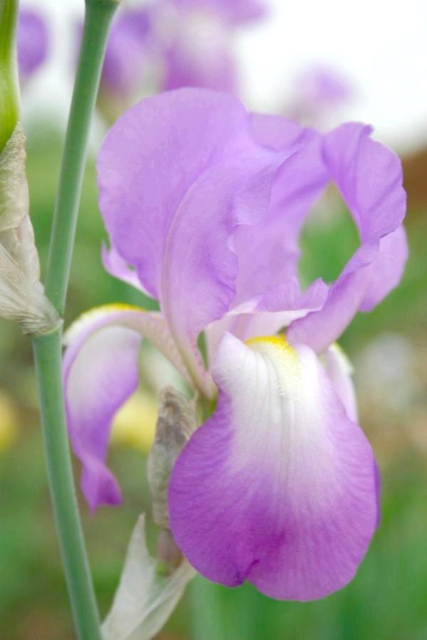 Класична форма квітки ірису