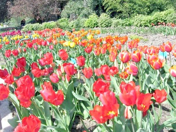Тюльпани в Нікітському ботанічному саду