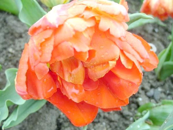 Сорт Monte Orange