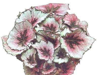 Фото - Бегонії декоративно листяні