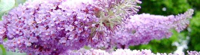 Фото - Будлея - краса в саду на багато років