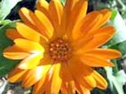 Квітка-нігтик
