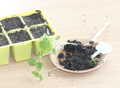 майстер-клас, фізаліс, вирощування розсади, розсада готова до пікіровки