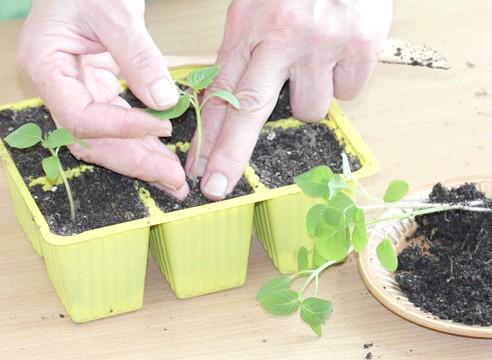 майстер-клас, фізаліс, вирощування розсади, пікіровка сіянців